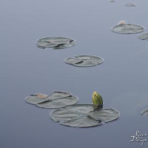 Water Lily Photo 5 iPad wallpaper image